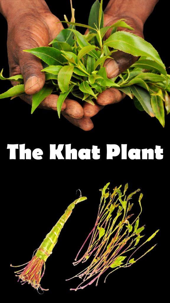 image of khat plant